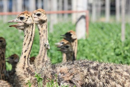 Safari-Ostrich-Farm-Tours