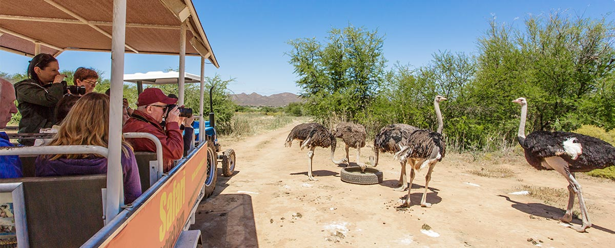 safari-ostrich-farm-tractor-tour-get-up-close-oudtshoorn-south-africa-2