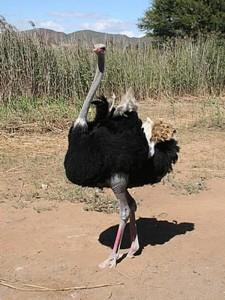 Safari-Ostrich-Farm-Oudtshoorn-Garden-Route-South-Africa-11