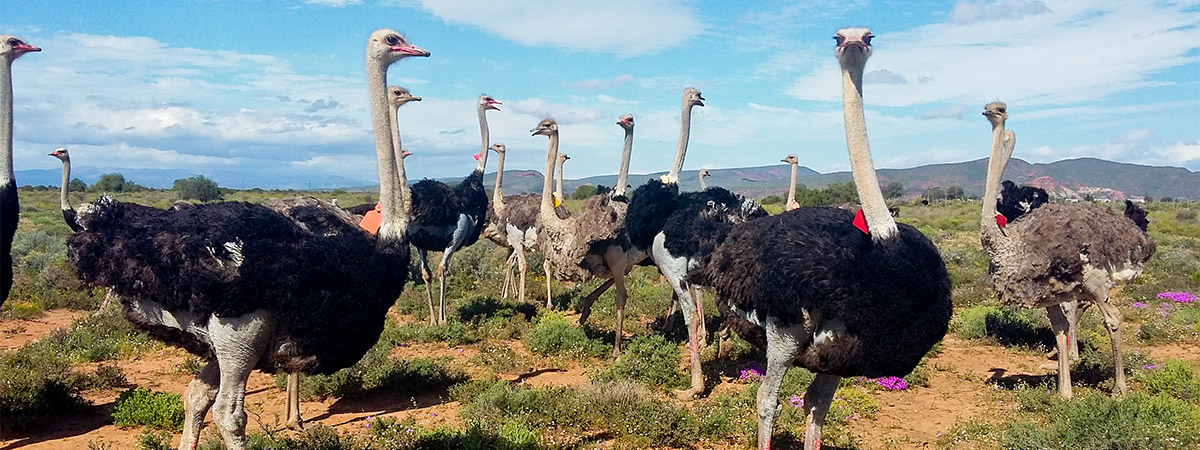 Image result for ostrich oudtshoorn photo