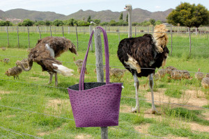 breeding-ostriches-with-chicks-Safari-Ostrich-Farm-Oudtshoorn-South-Africa