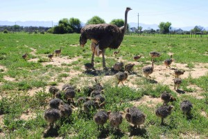 little-chicks-with-mother-Safari-Ostrich-Farm-Oudtshoorn-South-Africa