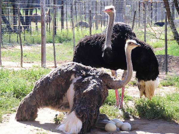 safari-ostrich-farm-oudtshoorn-garden-route-south-africa