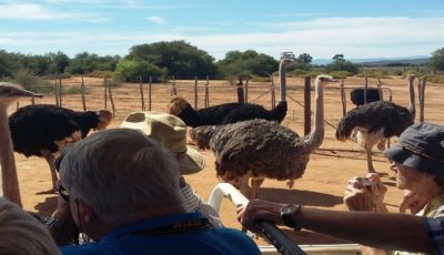 many-ostriches-right-around-you-Safari-Ostrich-Farm-Oudtshoorn-South-Africa